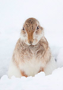 Mountain hare (Lepus timidus) in snow, Scotland, March  -  Danny Green