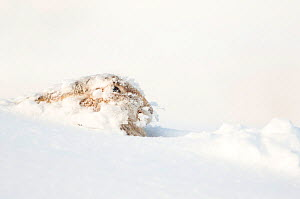 Mountain hare (Lepus timidus) resting in the snow, Scotland, March  -  Danny Green