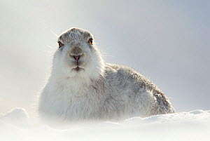 Mountain Hare (Lepus timidus) resting with ears back, Scotland, March. Highly Commended in the Animal Portrait Category of the BWPA Competition 2015.  -  Danny Green