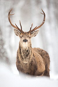 Red deer (Cervus elaphus) stag in the snow, Scotland, March  -  Danny Green