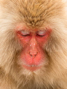 Snow monkey (Macaca fuscata) close up with eyes cast down, Nagano, Japan, February  -  Danny Green