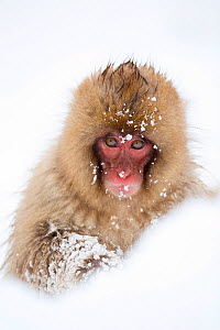 Snow Monkey (Macaca fuscata) in snow, Nagano, Japan, February - Danny Green