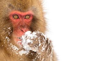 Snow Monkey (Macaca fuscata) with snow covered paw in front of mouth, Nagano, Japan, February - Danny Green