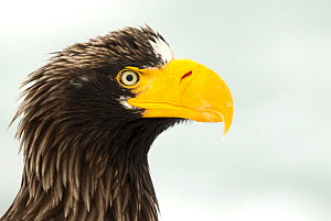 Steller's sea eagle (Haliaeetus pelagicus) close up portrait, Japan, February - Danny Green