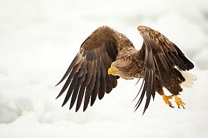 White tailed eagle (Haliaeetus albicilla) in flight with snowy background, Rausu, Japan, February  -  Danny Green