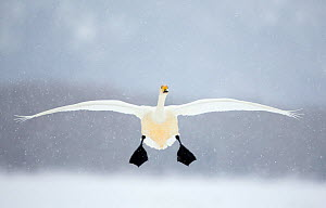 Whooper swan (Cygnus cygnus) in flight in snowfall, Lake Kussharo, Japan, February - Danny Green
