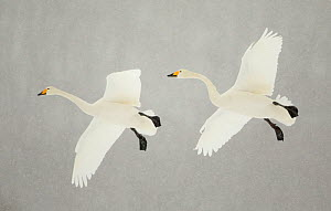 Whooper swans (Cygnus cygnus) two in flight, during snowfall, Lake Kussharo, Japan, February  -  Danny Green