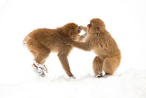 Snow monkeys (Macaca fuscata) young fighting in snow, Nagano, Japan, February  -  Danny Green