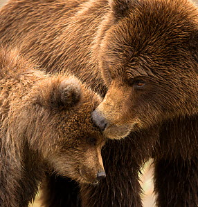 Coastal brown bear (Ursus arctos) and cub, Lake Clarke National Park, Alaska, September. - Danny Green