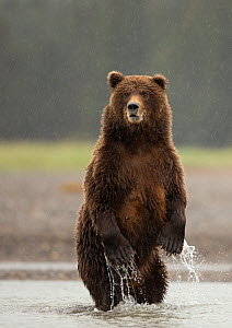 Coastal brown bear (Ursus arctos) standing on hind legs, Lake Clarke National Park, Alaska, September. - Danny Green