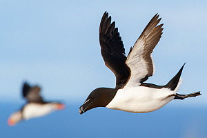 Razorbills (Alca torda) in flight, with Atlantic puffin (Fratercula arctica) behind, Hornoya, Norway. March - Espen Bergersen