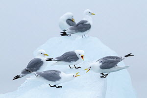 Kittiwakes (Rissa tridactyla) squabbling on ice. Svalbard, Norway.  July  -  Espen Bergersen