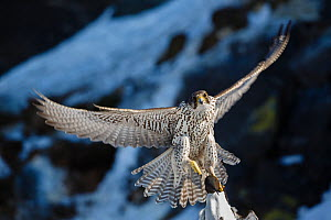 Gyrfalcon (Falco rusticolus) in flight with guillemot prey. Hornoya birdcliff. Finnmark, Norway. March - Espen Bergersen