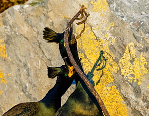 European shags (Phalacrocorax aristotelis) in courtship display. Hornoya bird cliff, Finnmark, Norway. March.  -  Espen Bergersen