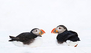 Atlantic puffin (Fratercula arctica) two calling aggresively in snow, Horn�ya birdcliff, Finnmark, Norway.  -  Espen Bergersen