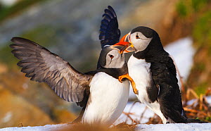 Atlantic puffin (Fratercula arctica) two birds fighting at nesting ground, Hornoya bird cliff, Finnmark, Norway. March. - Espen Bergersen