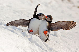 Atlantic puffin (Fratercula arctica) two fighting in snow, Hornoya bird cliff, Finnmark, Norway. March. - Espen Bergersen
