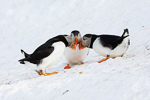 Atlantic puffins (Fratercula arctica) group interacting, Hornoya bird cliff, Finnmark, Norway. March.  -  Espen Bergersen