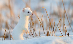 Stoat (Mustela erminea) in winter coat, Andoy, Norway - Espen Bergersen