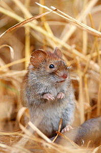 Northern red-backed vole (Myodes rutilus). Troms, Norway. September.  -  Espen Bergersen