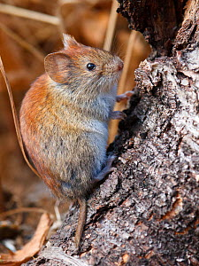 Northern red-backed vole (Myodes rutilus) portrait, Troms, Norway. September.  -  Espen Bergersen