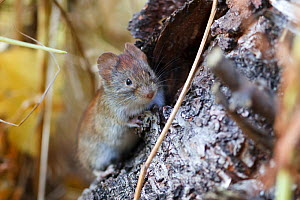 Northern red-backed vole (Myodes rutilus) portrait, Troms, Norway.  -  Espen Bergersen