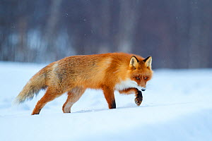 Red fox (Vulpes vulpes) walking through snow, Lapland, Finland, March. - Espen Bergersen