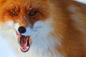 Red fox (Vulpes vulpes) yawning, close up portrait, Lapland, Finland. March.  -  Espen Bergersen