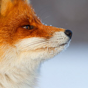 Red fox (Vulpes vulpes) close up portrait, Lapland, Finland. March. - Espen Bergersen