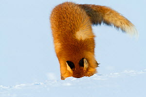 Red fox (Vulpes vulpes) searching for lemmings buried in deep snow. Lapland, Finland, March. - Espen Bergersen