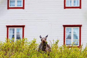 European elk / Moose (Alces alces) feeding close to a house. Troms, Northern Norway. May - Espen Bergersen