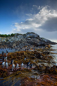 Snare's island crested penguin (Eudyptes robustus) Snares Island, New Zealand.  -  Mark  MacEwen