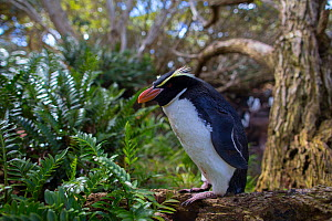 Snares island crested penguin (Eudyptes robustus) in forest, Snares Island, New Zealand.  -  Mark  MacEwen