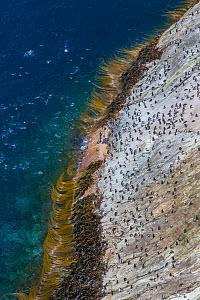 Snare's island crested penguin (Eudyptes robustus) colony on the coast, high angle view, Snares Island, New Zealand.  -  Mark  MacEwen