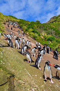 Snare's island crested penguin (Eudyptes robustus) colony on the coast of Snare's Island, New Zealand.  -  Mark  MacEwen