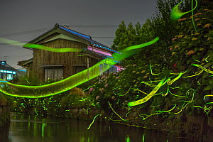 Japanese firefly (Luciola cruciata) light trails at night above stream in rural Japan. June.  -  Mark  MacEwen