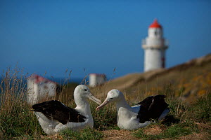 Northern royal albatross (Diomedea sanfordi) adult pair with lighthouse, Taiaroa Head, Otago Peninsula, New Zealand. Endangered. - Mark  MacEwen
