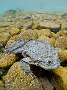 Titicaca water frog (Telmatobius culeus) underwater resting on the lake bed, Lake Titicaca, Bolivia. Critically endangered species. - Bert Willaert