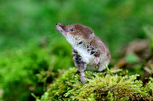Adult Common shrew (Sorex araneus) looking around on a mossy log. Dorset, UK, September. Captive.  -  Colin Varndell