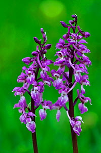 Early purple orchids (Orchis mascula) in flower. Somerset, UK April.  -  Colin Varndell