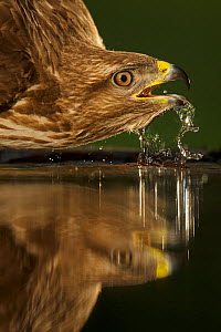 Common Eurasian buzzard (Buteo buteo) reflected in water whilst drinking, Pusztaszer protected landscape, Kiskunsagi, Hungary, May - Staffan Widstrand