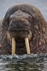 Atlantic  Walrus (Odobenus rosmarus) at surface, Svalbard, Norway, Arctic, September - Staffan Widstrand