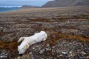 Dead Polar bear (Ursus maritimus) starved to death, Zeipelodden, Svalbard, Norway, September.  -  Staffan Widstrand