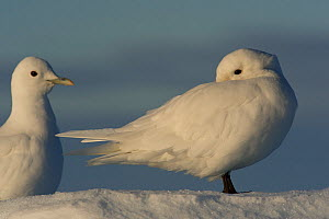 Two Ivory gulls (Pagophila eburnea) standing on snow, one of them is cleaning itself, Svalbard, Norway, Arctic, September  -  Staffan Widstrand