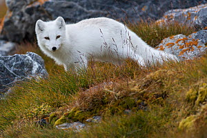 White Arctic fox (Alopex lagopus) in its winter fur looking at the camera, Svalbard, Norway, Arctic, September  -  Staffan Widstrand
