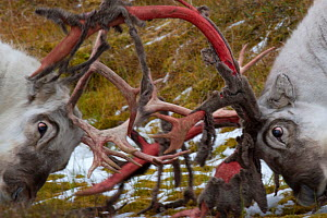 Two Svalbard reindeer (Rangifer tarandus platyrhynchus) fighting;  antlers shedding velvet;  Spitsbergen, Svalbard, Norway, September  -  Staffan Widstrand