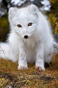 Arctic fox (Vulpes lagopus) in winter coat, sitting, Spitsbergen, Svalbard, Norway, September  -  Staffan Widstrand