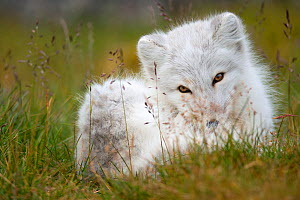 Arctic fox (Vulpes lagopus) in winter coat, resting in grass, Spitsbergen, Svalbard, Norway, September. - Staffan Widstrand