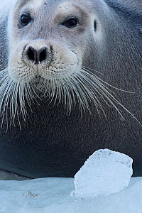 Bearded seal (Erignathus barbatus) Spitsbergen, Svalbard, Norway, September. - Staffan Widstrand