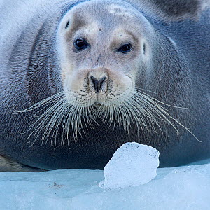 Bearded seal (Erignathus barbatus) hauled out on ice,  Spitsbergen, Svalbard, Norway, September.  -  Staffan Widstrand